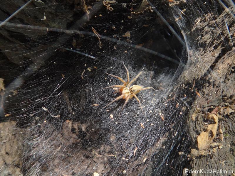 Крупные пауки вьют воронкообразные паутины